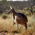 Cape Range National Park kangaroo (2)-575